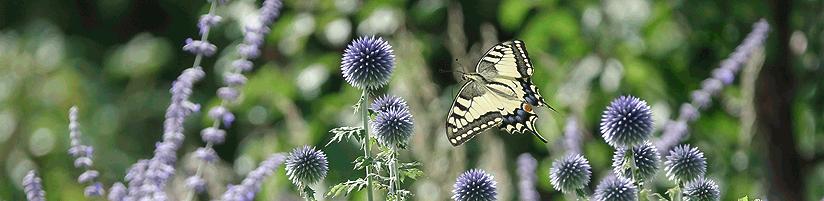 Bild: Picturegarden Rohner - Kugeldisteln (Echinops) sind sowohl bei Bienen als auch Schmetterlingen beliebt.