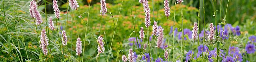 Bild Picturegarden Rohner: Eingebettet in filigrane Gräsertuffs wirken die rosafarbenen Ähren des Schlangenknöterichs (Persicaria) sehr verspielt. Blaue Storchenschnabelblüten (Geranium) ergänzen die Szenerie.