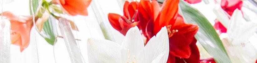 amaryllis braucht drei jahre pflege bis zur ersten bl te. Black Bedroom Furniture Sets. Home Design Ideas