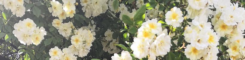 Bild BGL: Duftende Rosen laden zum Schnuppern ein - pflanzt man sie vor das Haus, erfreuen sie nicht nur einen selbst, sondern auch die Passanten.