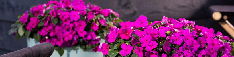 Bild Syngenta Flowers