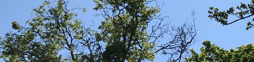 Bild garten.ch: Lichte Kronen in Folge Trockenheit