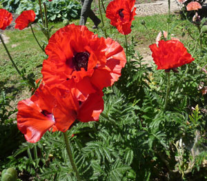 national collection of papaver orientale gartench