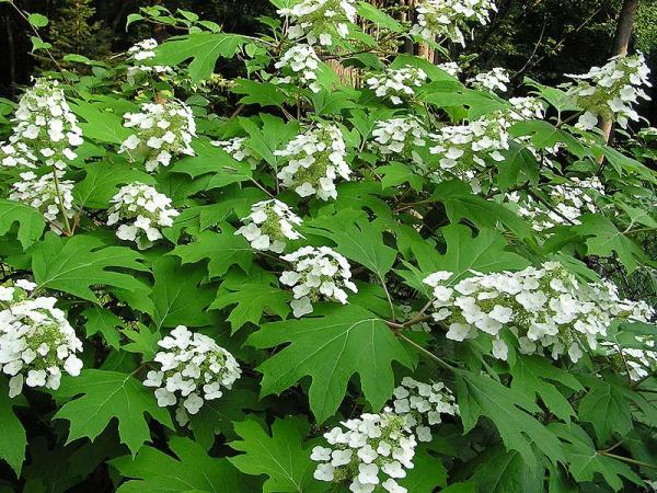 """Bild: """"Hydrangea quercifolia"""" von Anne Norman"""
