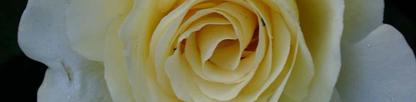 rosen sind pflegeleichter als ihr ruf tipps f r. Black Bedroom Furniture Sets. Home Design Ideas