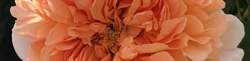 Bild garten.ch: Rose