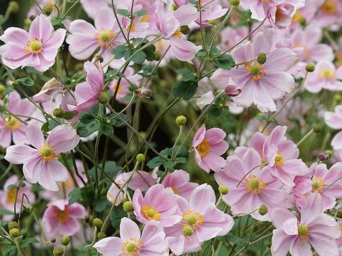 Bild Picturegarden | Rohner: Anemone hupehensis, rosafarbene Blütenwolken im Herbst: die klassische Japan-Herbstanemone (Anemone hupehensis).