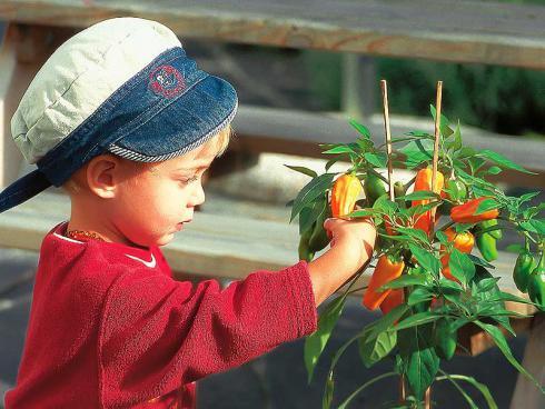 Bild Picturegarden Rohner: Die fruchtig-süssen Schnackpaprika sind – im Gegensatz zu den scharfen Chilis – auch für Kinder ein Genuss.