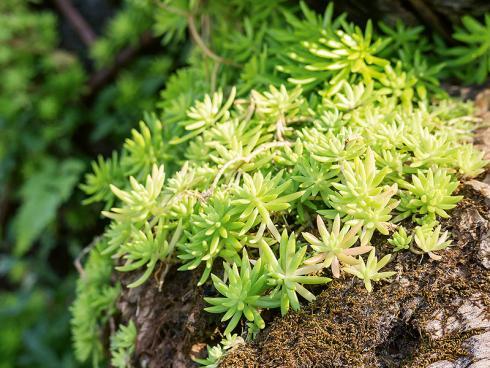 Bild JardinSuisse: Die Felsen-Fetthenne bzw. Tripmadam (Sedum reflexum) kommt in ganz Kontinentaleuropa vor. Sie wird etwa 10 bis 15 cm hoch und blüht von Juli bis August in kräftigem Gelb.
