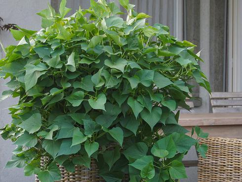 Bild Picturegarden Rohner: Süsskartoffeln sind sehr wüchsig und machen sich auch als Zierpflanzen gut.