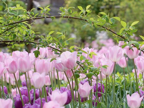 Bild Picturegarden Rohner: Fast unbemerkt entwickelt sich im farbenfrohen Tulpenmeer bereits der Staudenphlox. Die spätfrühlingshafte Szenerie wird zudem von Wildrosenranken gesäumt.