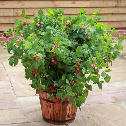 Bild: Wird maximal einen Meter hoch: die Zwerghimbeere 'Ruby Beauty' ist die perfekte Naschhimbeere für Balkon und Terrasse.