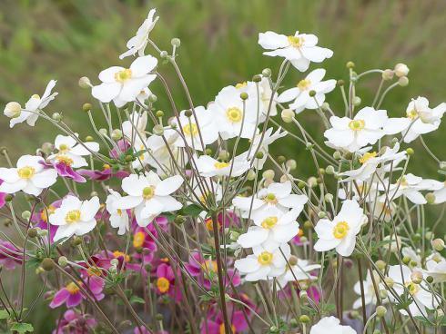 Bild Picturegarden | Rohner: Anemone hupehensis, die Japan-Herbstanemone wirkt zart und filigran. Sie ist in Weiss, Rosa oder Purpur erhältlich und eignet sich auch zum Auspflanzen in den Garten.