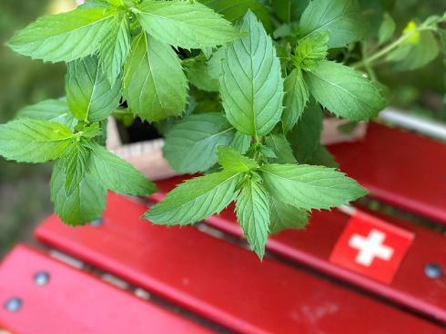 Bild Picturegarden Rohner: Die «Schweizer Minze» ist botanisch eine Mentha x piperita