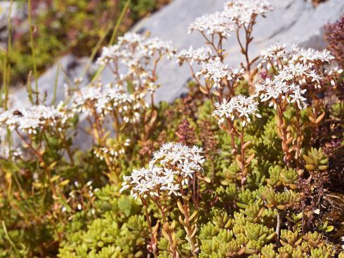 Bild JardinSuisse: Der Weisse Mauerpfeffer (Sedum album) ist einheimisch und immergrün. Im Juni bis August bilden sich weisse Blütenstände. Besonders schön wirkt er zwischen grossen Steinen gepflanzt.