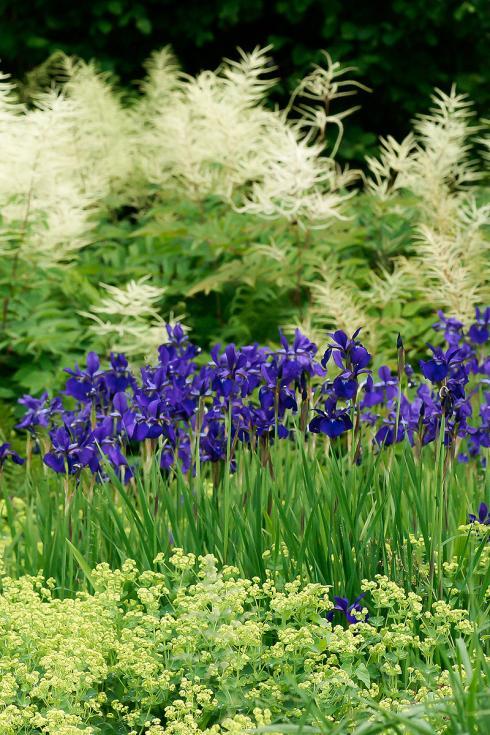 Bild Picturegarden Rohner: Traum in Blau: Sumpfschwertlilien (Iris sibirica), im Vordergrund von Frauenmantel (Alchemilla) sowie im Hintergrund von Waldgeissbart (Aruncus) umgarnt.