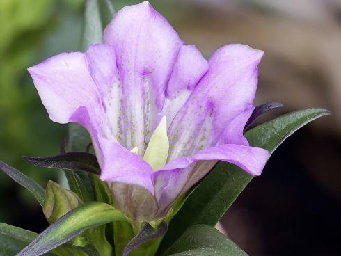 Bild  Picturegarden Rohner: Die rosafarbene Sorte des Japanischen Enzians passt perfekt zu auberginefarbenem Blattschmuck wie Purpurglöckchen oder Bergenien.