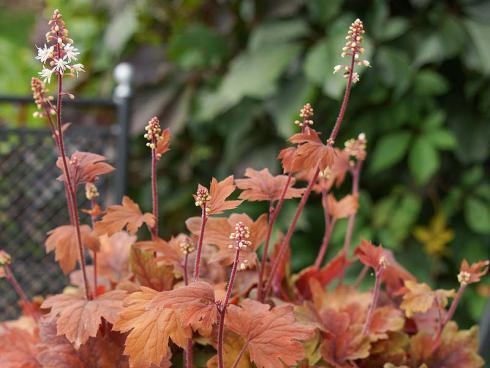 Bild Picturegarden | Rohner: Heucherella Sweet Tea, die Bastard-Schaumblüte (Heucherella) imponiert durch ihr ganzjährig herbstlich anmutendes Laub. Auch als Bodendecker geeignet.