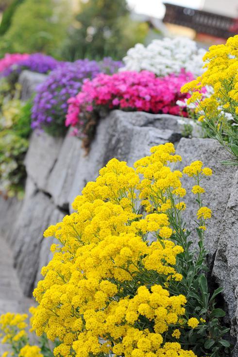 Bild Picturegarden Rohner: Im April sorgen farbenfrohe Polsterstauden für gute Stimmung.