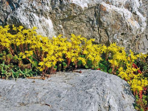 Bild JardinSuisse: Die sternchenförmigen, goldgelben Blüten des einheimischen Scharfen Mauerpfeffers (Sedum acre) dienen verschiedenen Wildbienenarten als Nahrungsquelle. Am schönsten wirkt er zwischen Mauersteinen oder als Grasersatz auf sandigen, nährstoffarmen Böden.
