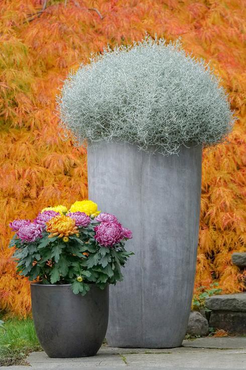 Bild Picturegarden Rohner: Inmitten einer pflanzlichen Herbstfanfare wirkt die Stacheldrahtpflanze im hochgeschlossenen grauen Gefäss fast wie ein Exot, dabei ist die Realität genau umgekehrt…
