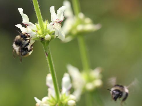 Bild Daniel Labhart: Wildbienen benötigen reiche Nektarquellen, Nistkästen alleine helfen nicht (Stachys recta)