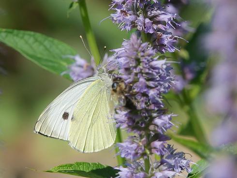 Bild Picturegarden Rohner: Die Duftnessel ist von Juli bis September eine Nektaroase für allerlei Insekten.