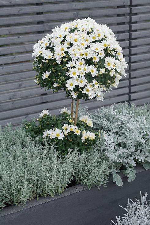 Bild Picturegarden Rohner: Der zurückhaltende Einsatz von Farbe führt zu mehr Eleganz und Wertigkeit. Das weisse Chrysanthemen-Bäumchen fällt so erst recht auf.