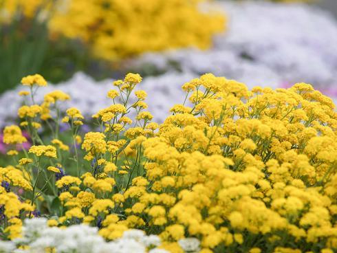 Bild Picturegarden Rohner: Das Bergsteinkraut (Alyssum montanum) ist mit seinem intensiven Gelb das Prachtstück in der Polsterstauden-Rabatte.