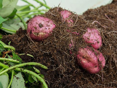 Bild Picturegarden Rohner: Die Zierkartoffel 'Erato White' hat hübsche violette Knollen mit weissem Fleisch.