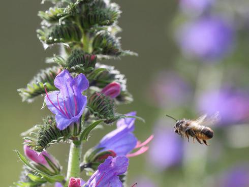 Bild Daniel Labhart: Wo Blumen sind, herrscht im Nu reges Treiben (Echium vulgare)