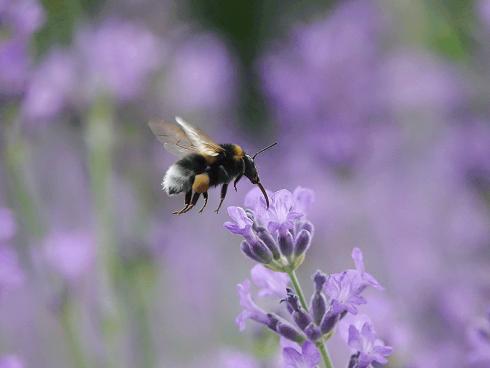 Bild: Picturegarden Rohner - Eine Erdhummel auf Nektarsuche in der Lavendelrabatte.