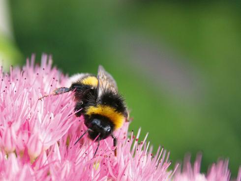 Bild JardinSuisse: Wildbienen, Hummeln und andere Insekten nutzen Sedum als Nektarquelle. Gerade Arten wie Sedum 'Herbstfreude' blühen spät im Jahr, also zu einem Zeitpunkt, wenn das Angebot an Blüten abzunehmen beginnt.