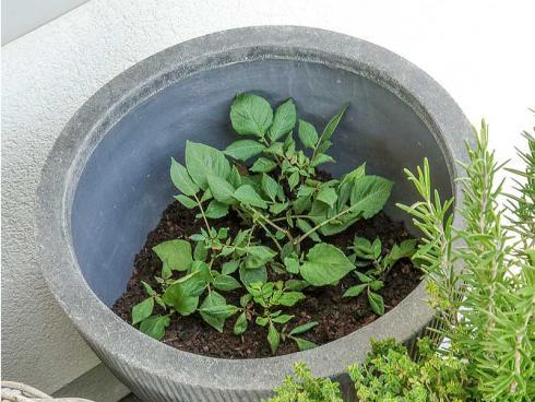 Bild Picturegarden Rohner: Die Jungpflanzen werden tief eingesetzt, angegossen und halbschattig aber warm aufgestellt.