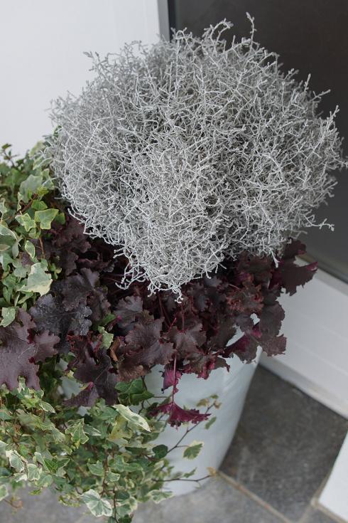 Bild Picturegarden Rohner: Der dunkel-aubergine «Kragen» des Purpurglöckchens setzt das Silbergrau des Stacheldrahts perfekt in Szene.