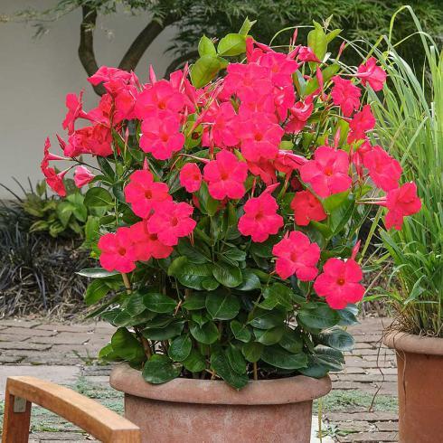 Bild Green Pflanzenhandel, Picturegarden Rohner: ΄Tourmaline Intense Fuchsia΄ wirkt als Solitär in grossen Kübeln unerreicht.