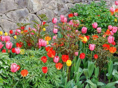 Bild Picturegarden Rohner: Die Tulpen präsentieren sich in bester Blühlaune, doch diverse Pfingstrosenhorste sind mit reger Knospenbildung schon zur Wachablösung bereit.