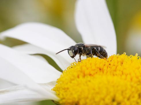 Bild Daniel Labhart: Neben der Honigbiene gibt es bei uns rund 500 weitere Wildbienen-Arten, davon sind knapp 10 Prozent bereits ausgestorben.