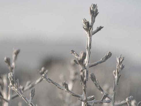 Bild Picturegarden | Rohner: Calocephalus aus der Nähe betrachtet offenbart sich erst der sonderbare Wuchs des Silberkopfs (Calocephalus).