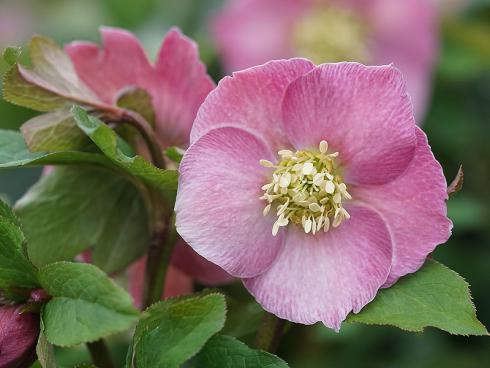 Bild Picturegarden Rohner: Blühende Versuchung in Pink: die Lenzrosensorte 'Bridget' lässt kaum jemanden kalt.