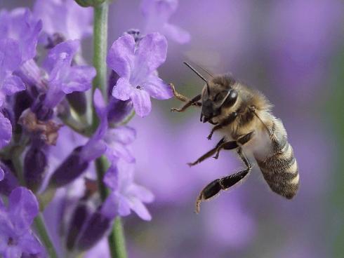 Bild: Picturegarden Rohner - Auch die Honigbienen lieben Lavendel über alles – so sehr dass sie den ganzen Tag kaum einmal eine Pause einlegen.