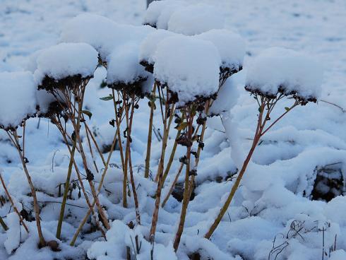 Bild JardinSuisse: Die eingetrockneten Stängel der hohen Sedum-Arten sollten erst im Frühling zurückgeschnitten werden. Sie dienen verschiedenen Insekten als Schutz über den Winter und lassen, mit Raureif und Schnee geschmückt, zauberhafte Winterbilder entstehen.