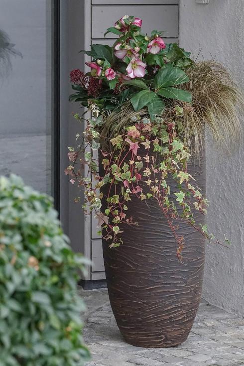 Bild Picturegarden Rohner: Die Winterrose namens 'Ice N'Roses Picotée' macht aus diesem Türwächter eine Offenbarung.