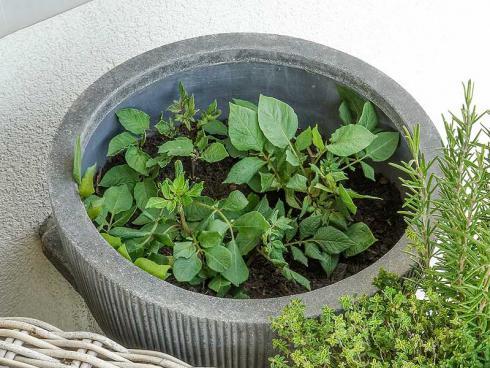 Bild Picturegarden Rohner: Die Pflanzen wachsen rasch über den Topfrand hinaus, der Topf immer mehr gefüllt.