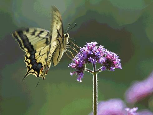 Bild: Picturegarden Rohner - Das Patagonische Eisenkraut (Verbena bonariensis) lockt diverse Schmetterlinge an. An den hohen Stängeln landet der Schwalbenschwanz besonders elegant.