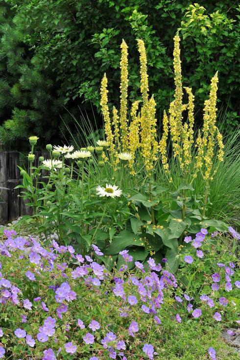 Bild Picturegarden Rohner: Frühsommer-Blütenzauber mit Königskerze (Verbascum), Sonnenhut (Echinacea) und Storchenschnabel (Geranium 'Rozanne').