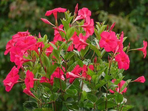 Bild Green Pflanzenhandel, Picturegarden Rohner: ΄Tourmaline Intense Fuchsia΄ hat ihren Namen nicht von ungefähr, leuchtet sie doch im Gegenlicht wie ein Edelstein.