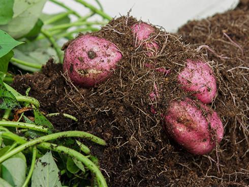 Bild Picturegarden Rohner: Der Ertrag ist verblüffend hoch. Knollen vorsichtig ernten und Beschädigungen vermeiden.
