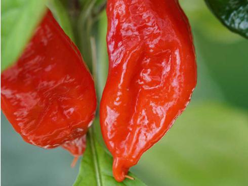 Bild Picturegarden Rohner: Man sieht es den orangeroten Früchten gar nicht so an, aber dieser Indische Chili hat's in sich …