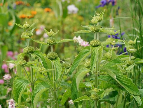 09_Phlomis_DSC1720.jpg Bild Picturegarden Rohner: Manche Blütenstauden wie das Brandkraut (Phlomis) sind das ganze Jahr über attraktiv. Die langen Blütenstängel mit den lustigen Etagen bleiben auch im Winter ein Blickfang.